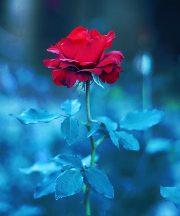 rose matinale