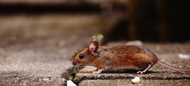 mouse-1708192_640