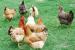 Quelles sont les plus belles races de poules au monde ?